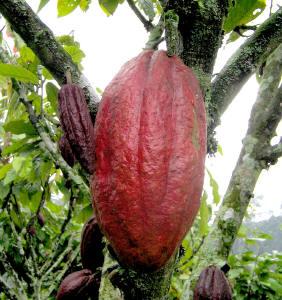 cocoa111_small