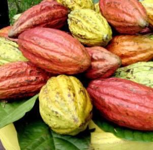 cocoa_small